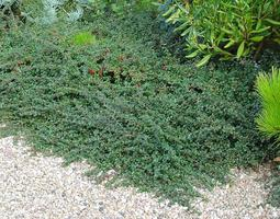 Cotoneaster microphyllus (Port)