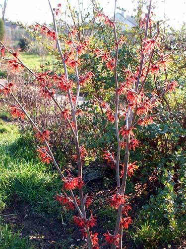Hammamelis intermedia ruby glow