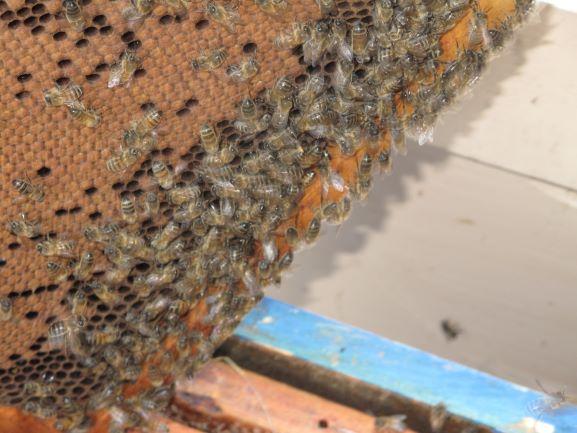 Couvain d'abeilles