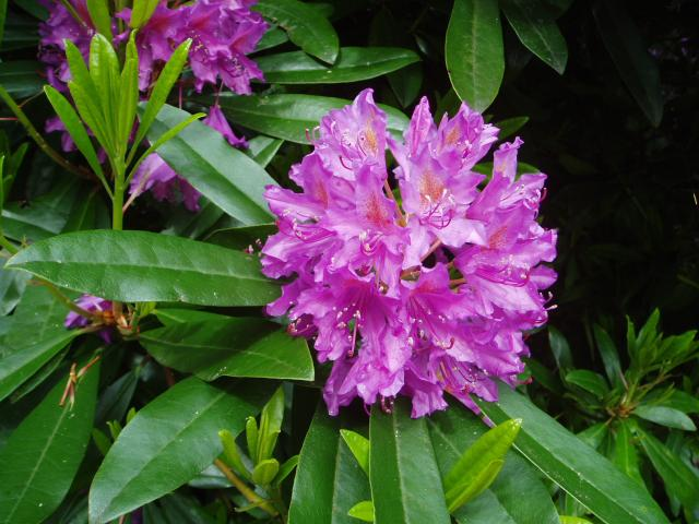 Rhododendron azalea 'Cécile' (Fleurs)