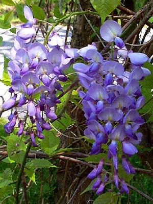 Wisteria floribunda (Fleurs)