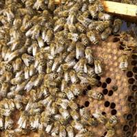 Visite d un cadre d abeilles